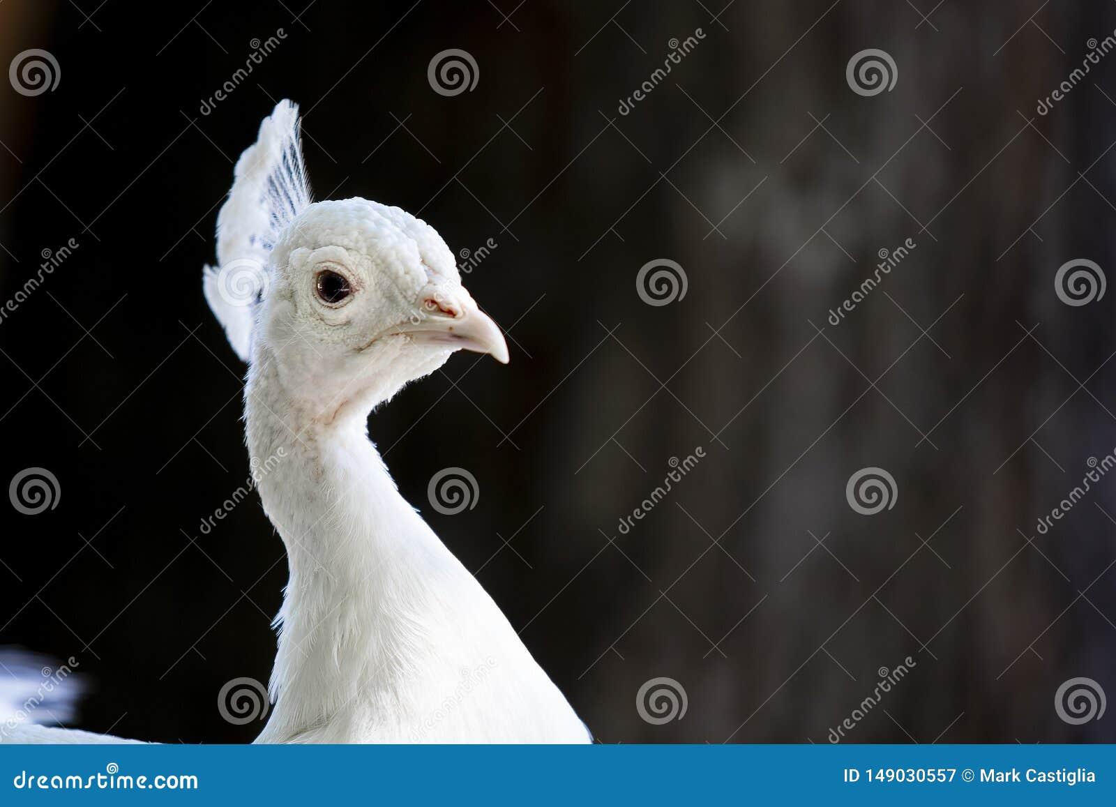 Albino peacock closeup with eye facing viewer.