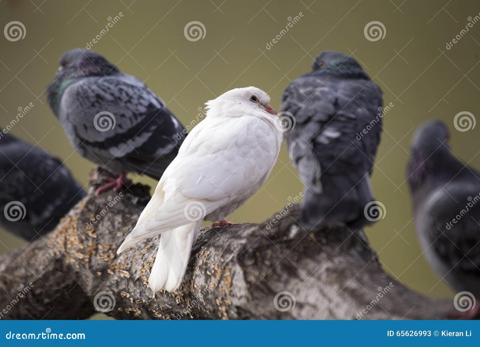Albino Pigeon