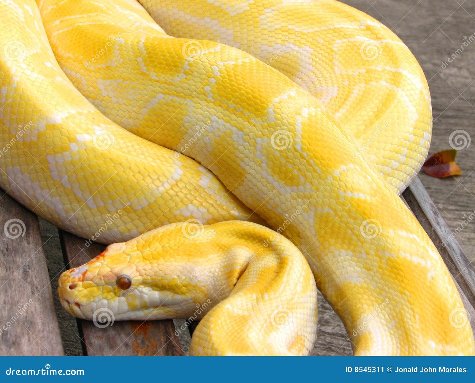 Albino-Pythonschlange