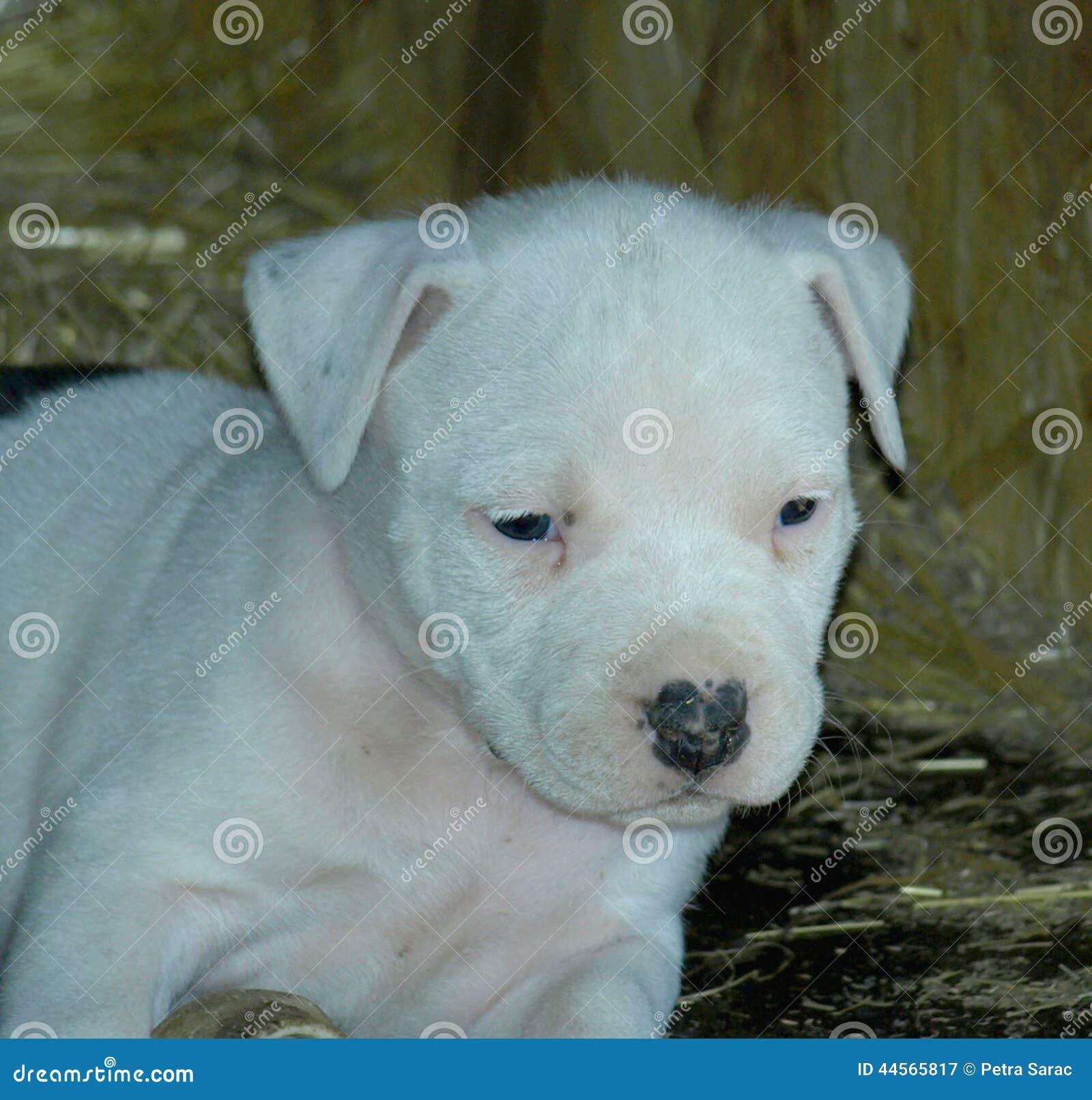 Albino stafford puppy
