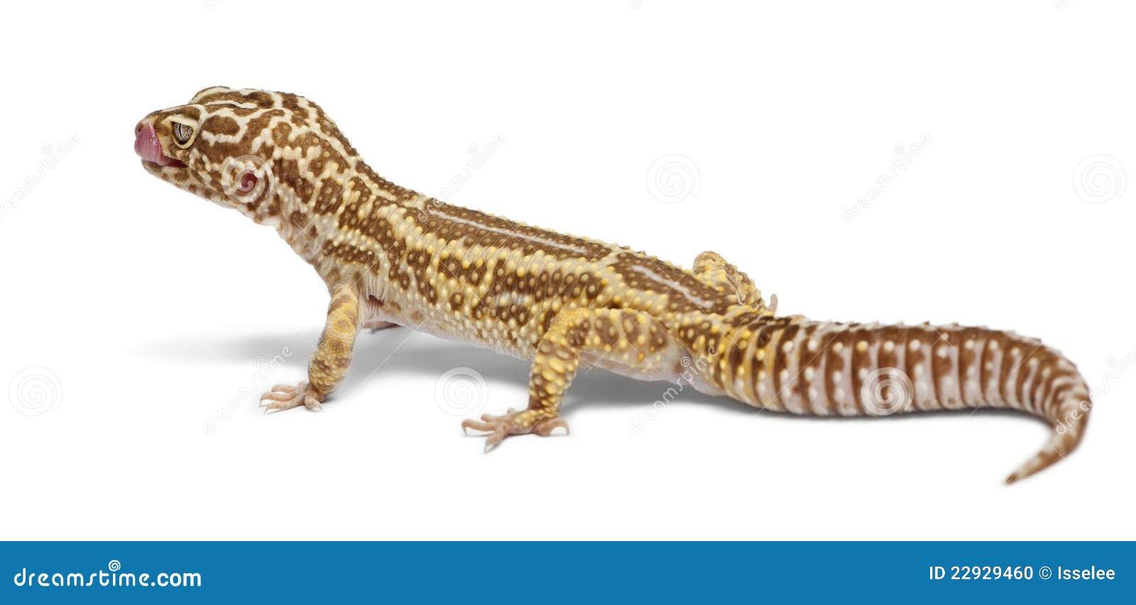 Albino Striped Leopard Gecko, Eublepharis Stock Photo ...