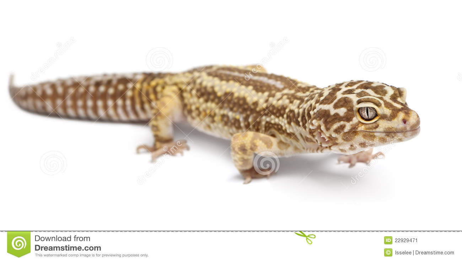 Albino Striped Leopard Gecko, Eublepharis Stock Image ...