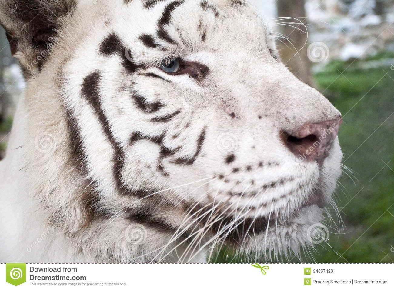 White tiger close up face - photo#17