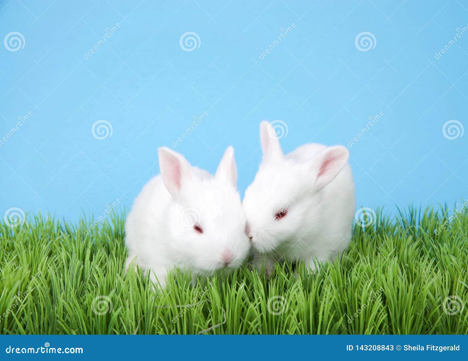 Albino två att behandla som ett barn kaniner i grönt gräs