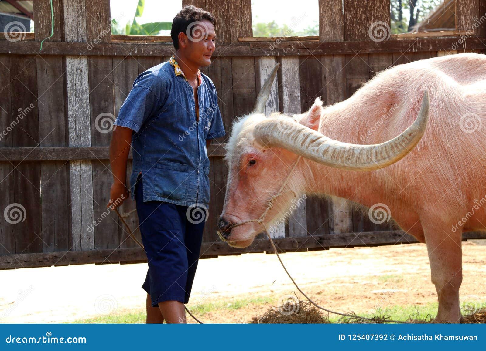 Man and buffalo