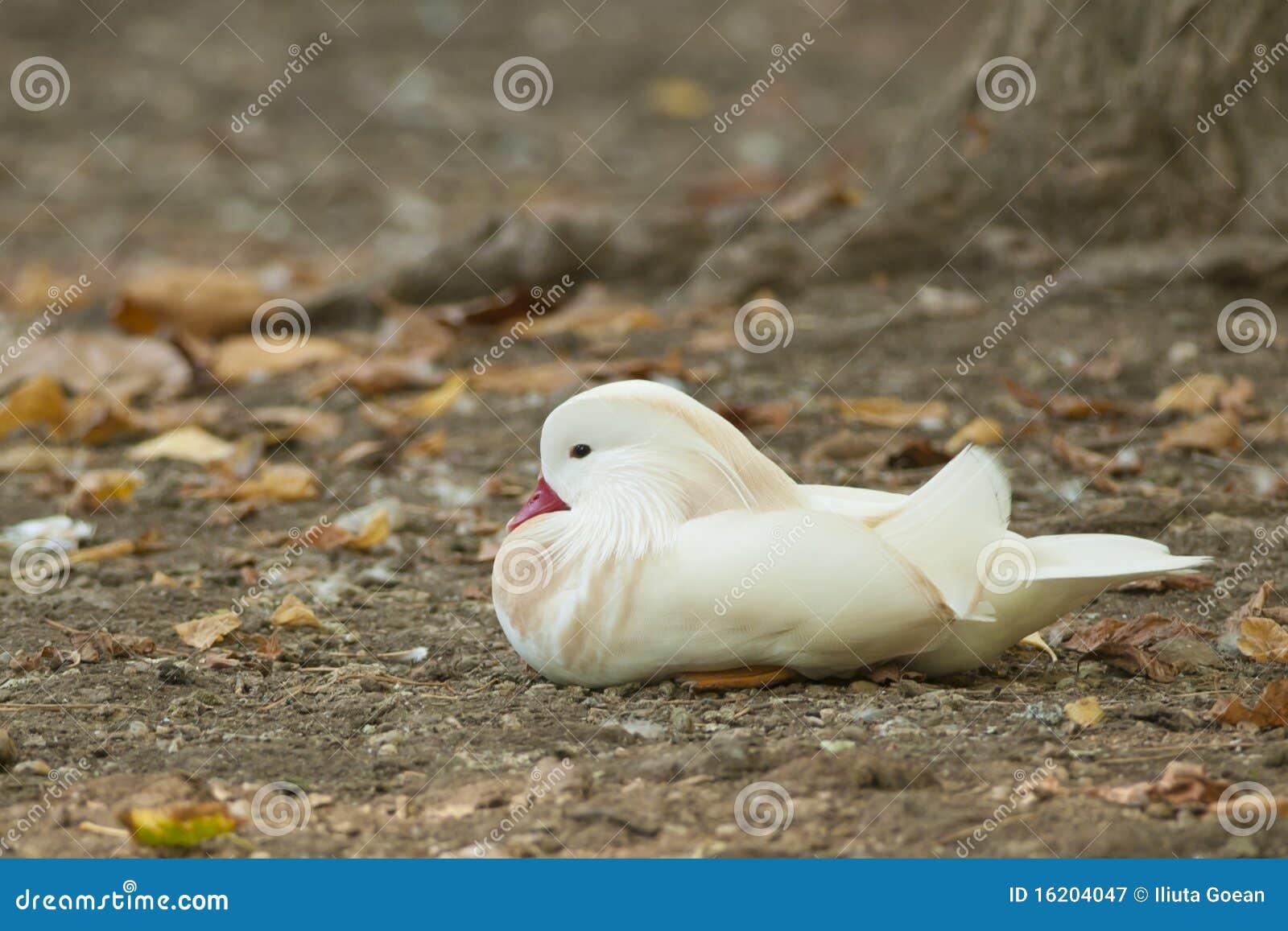 AlbinoMandarinand