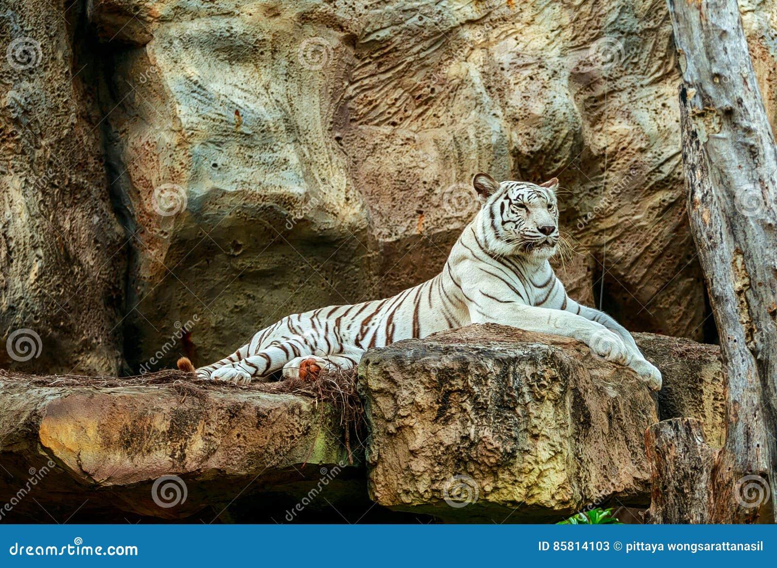 Albinotigerschlaf auf Felsen im Zoo