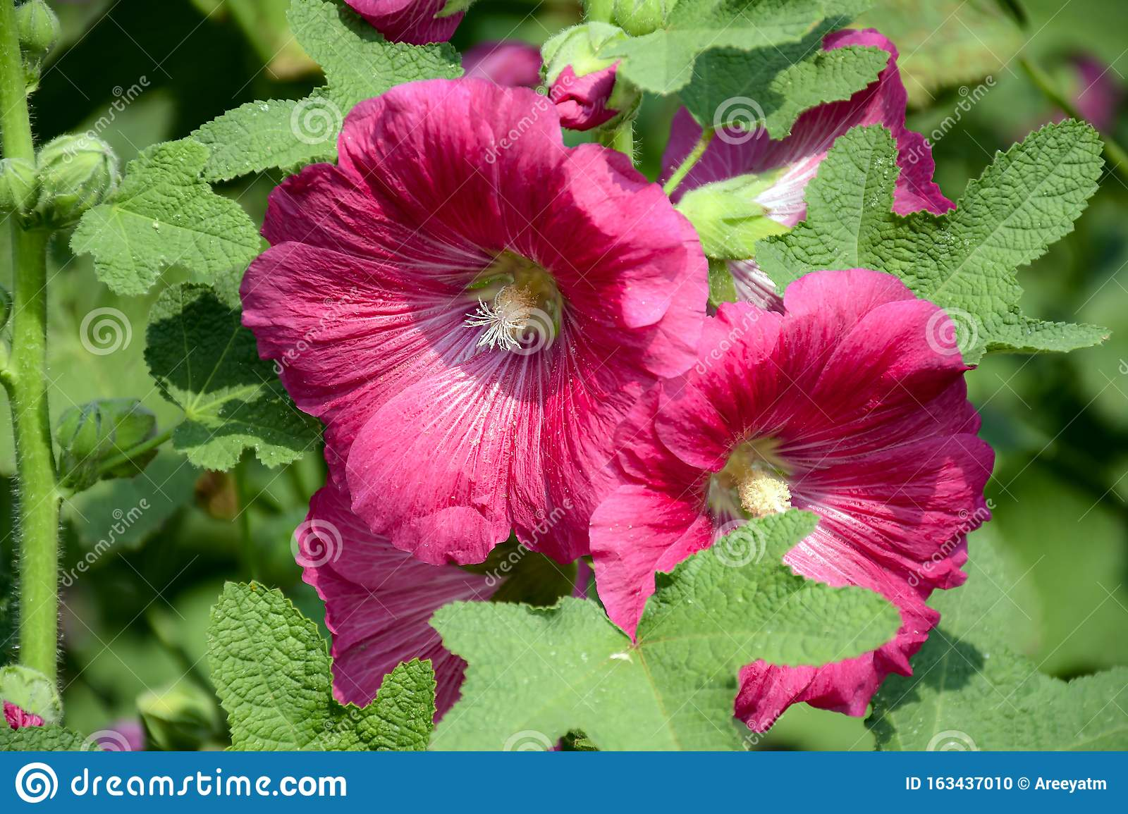 Alcea rosea, the common hollyhock, is an ornamental plant in the family Malvaceae