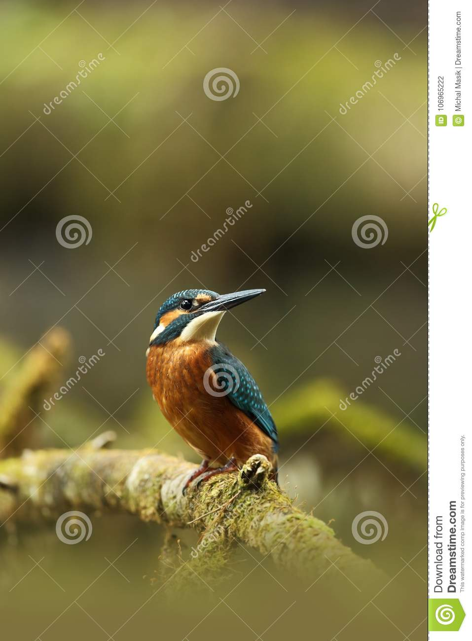 Alcedo atthis. It occurs throughout Europe. Looking for slow-flowing rivers.