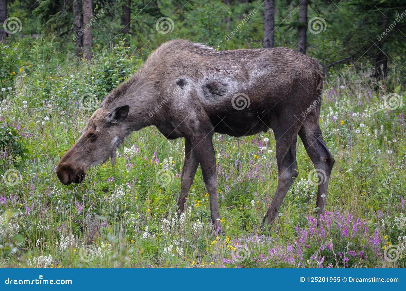 Alces de Alaska en el salvaje