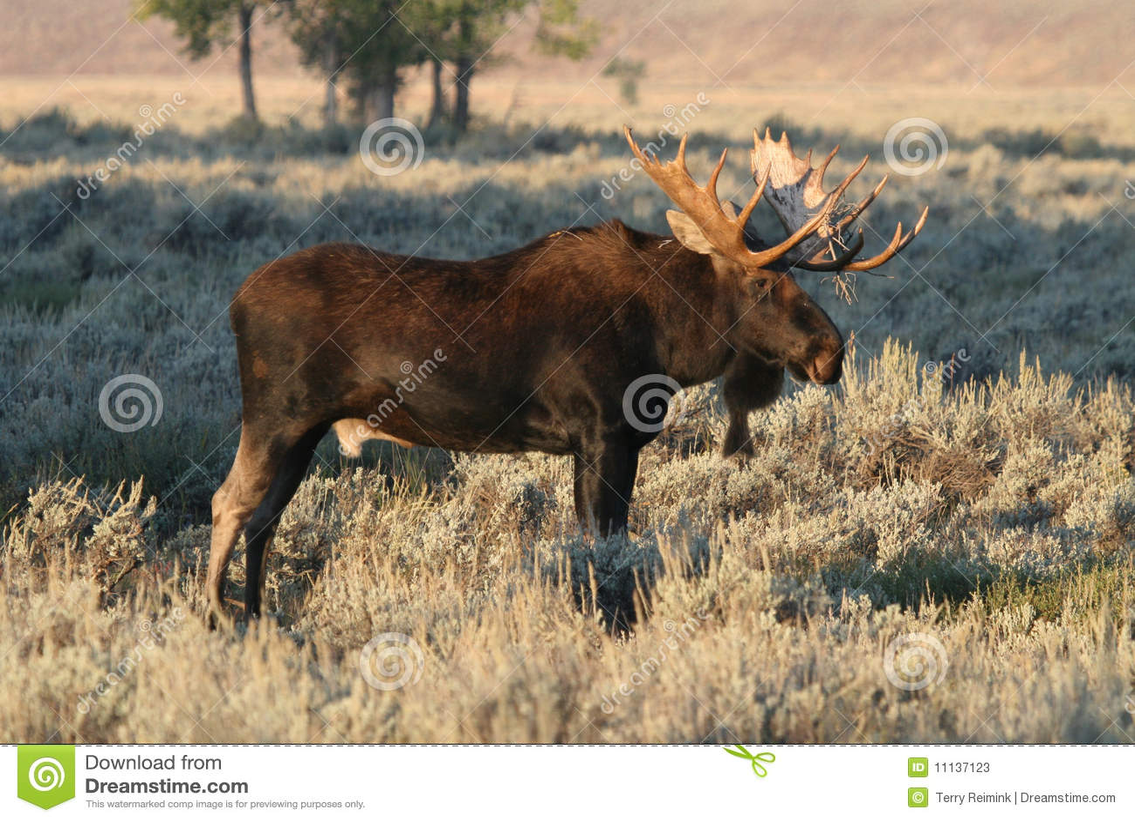 Alces de Bull