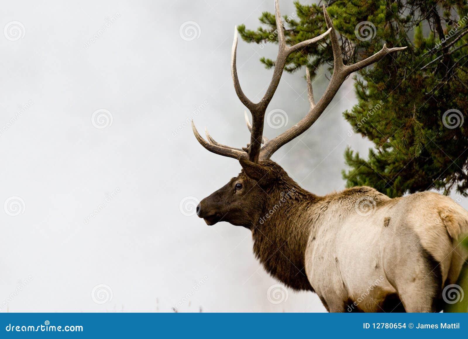 Alces de Bull na névoa 4