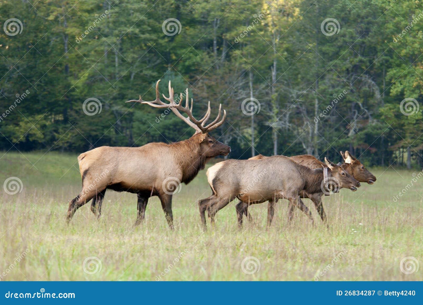 Alces de Bull que reúnen a 2 hembras.