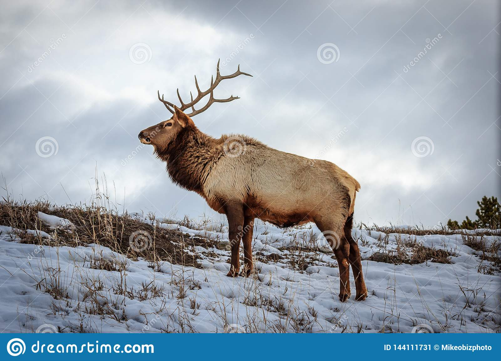 Alces de Yellowstone Bull