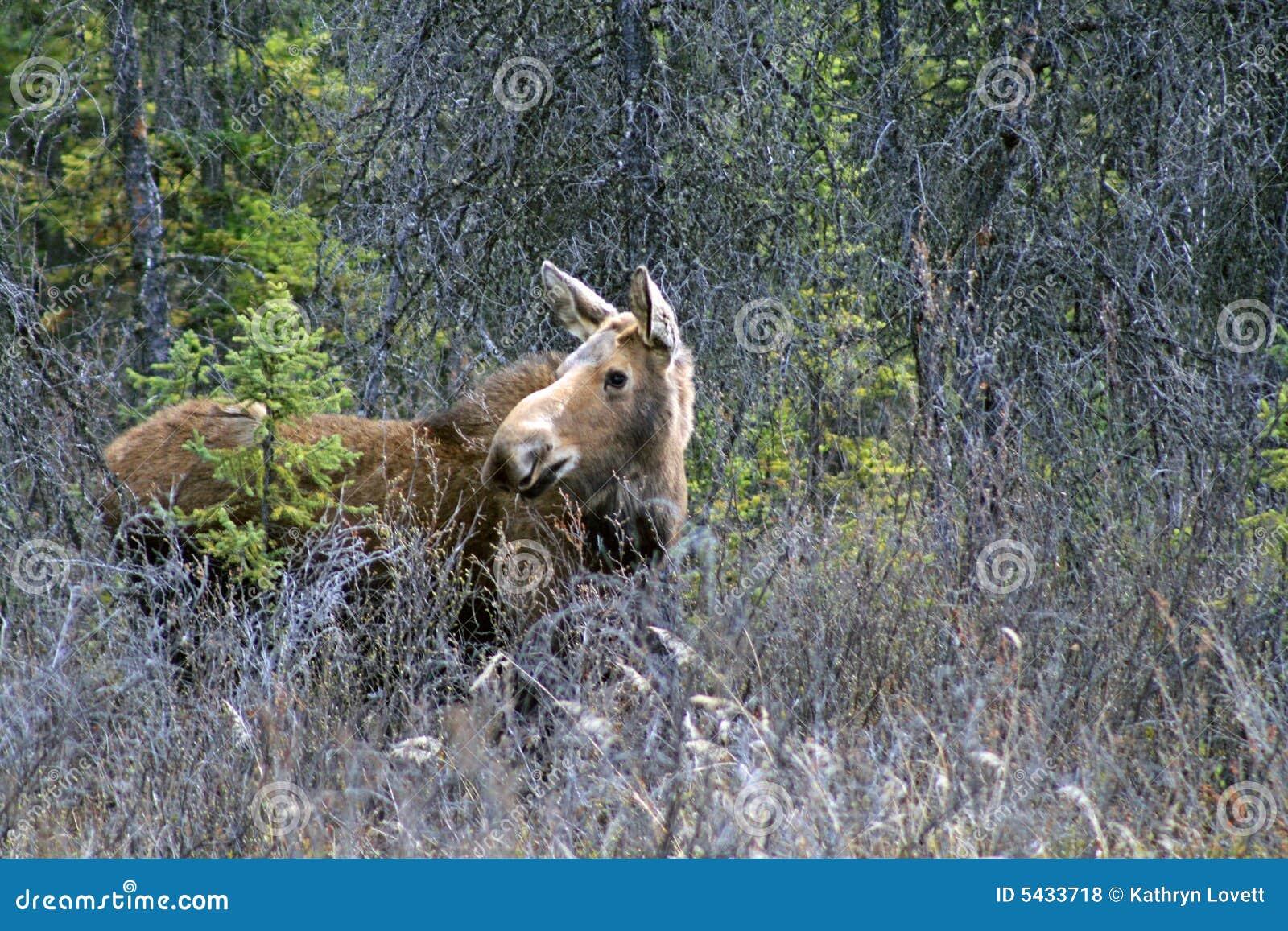 Alces en Alaska