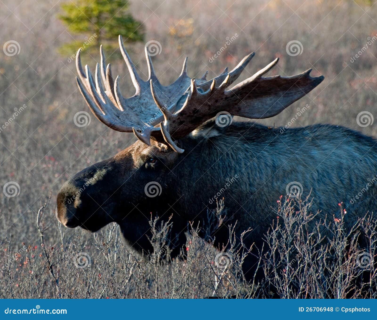 Alces grandes selvagens de Bull