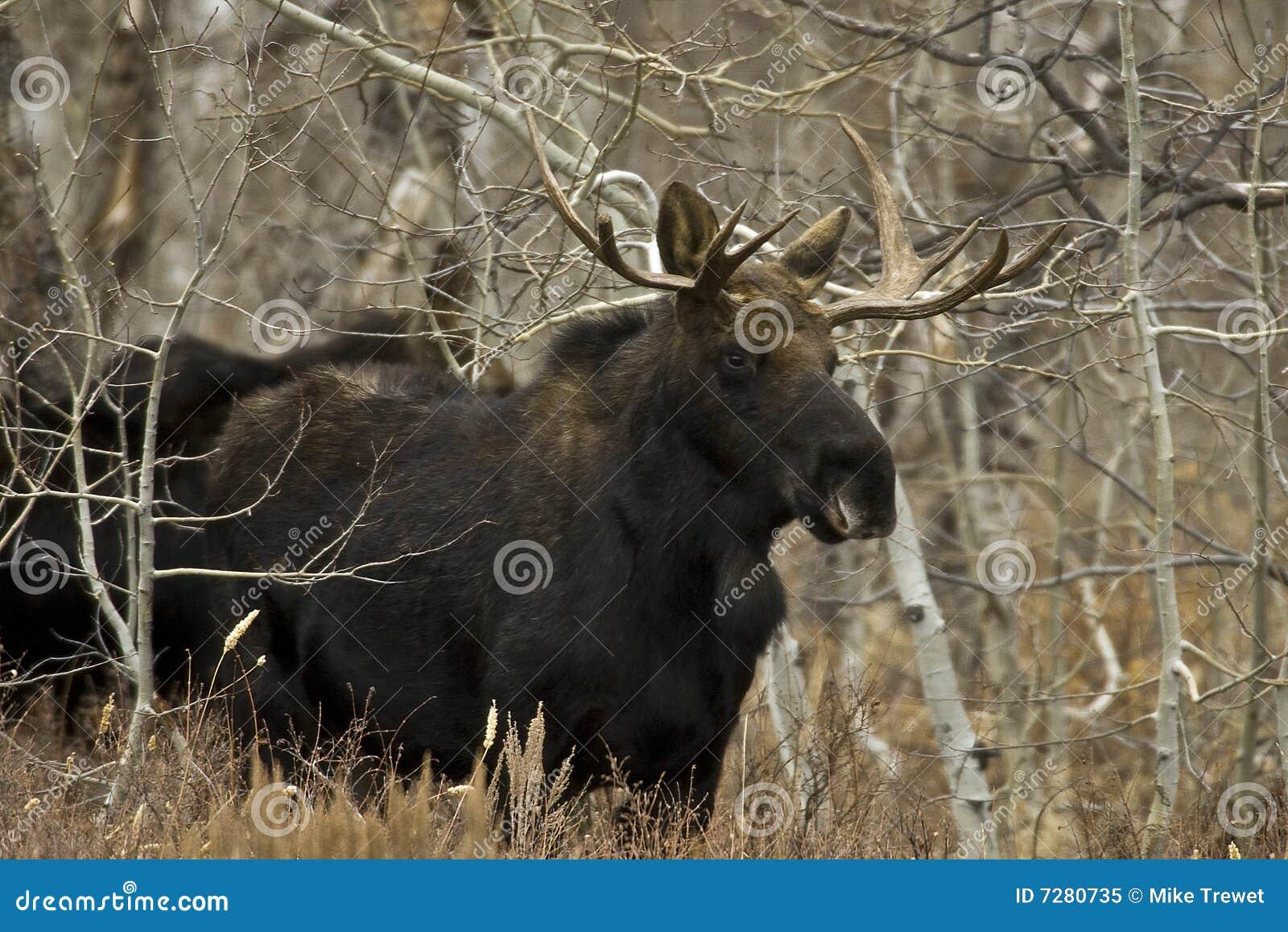 Alces jovenes de Bull