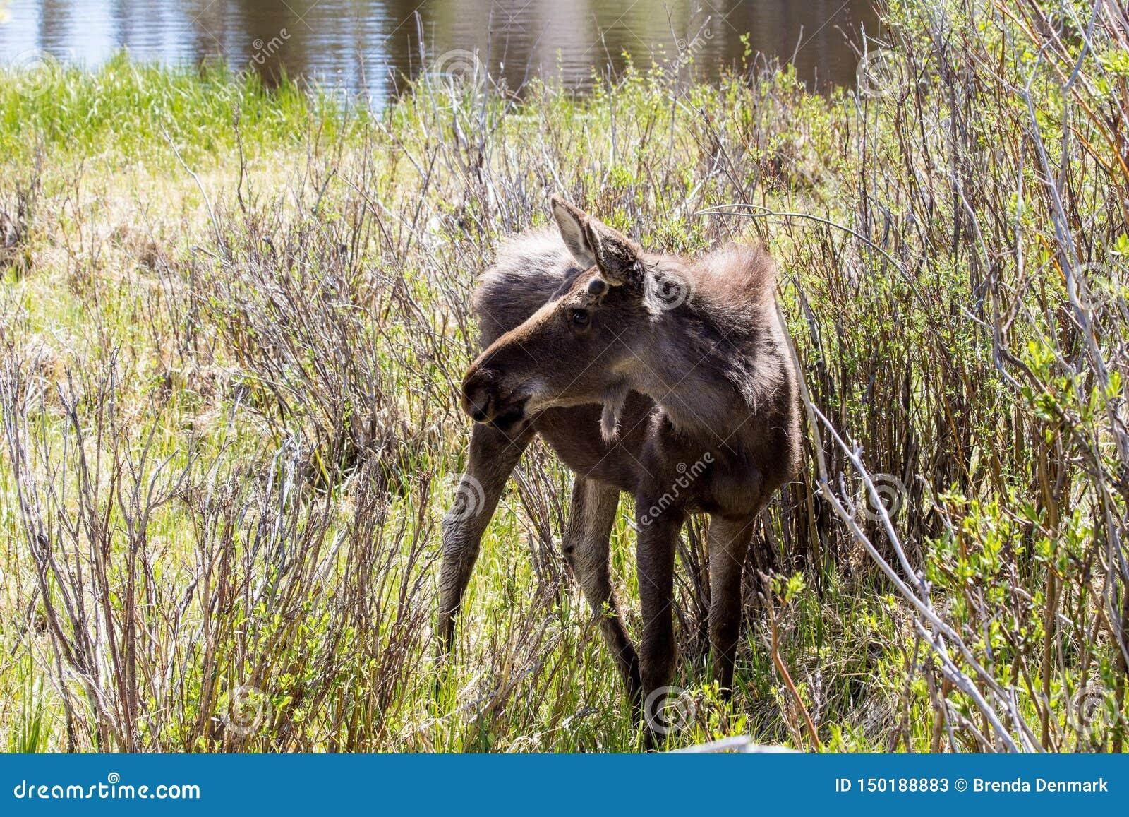 Alces masculinos novos em Sprague Lake em Rocky Mountain National Park