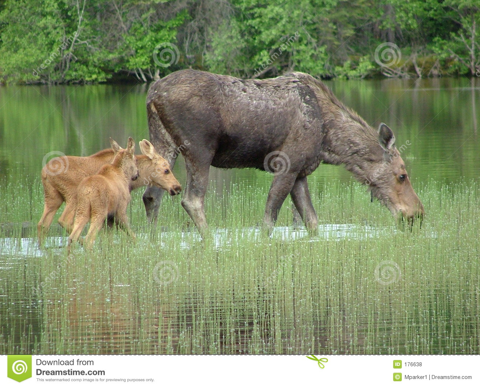 Alces y sus bebés