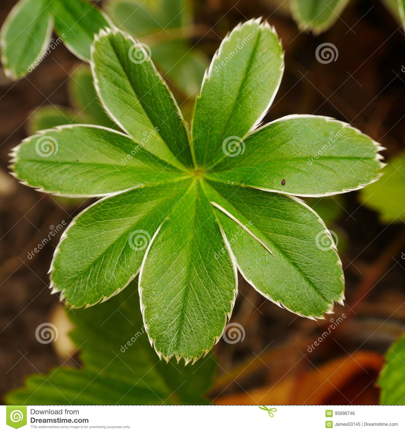 Alchemilla Alpina Stock Photo Image Of Mantle Leaf - Alchemilla alpina
