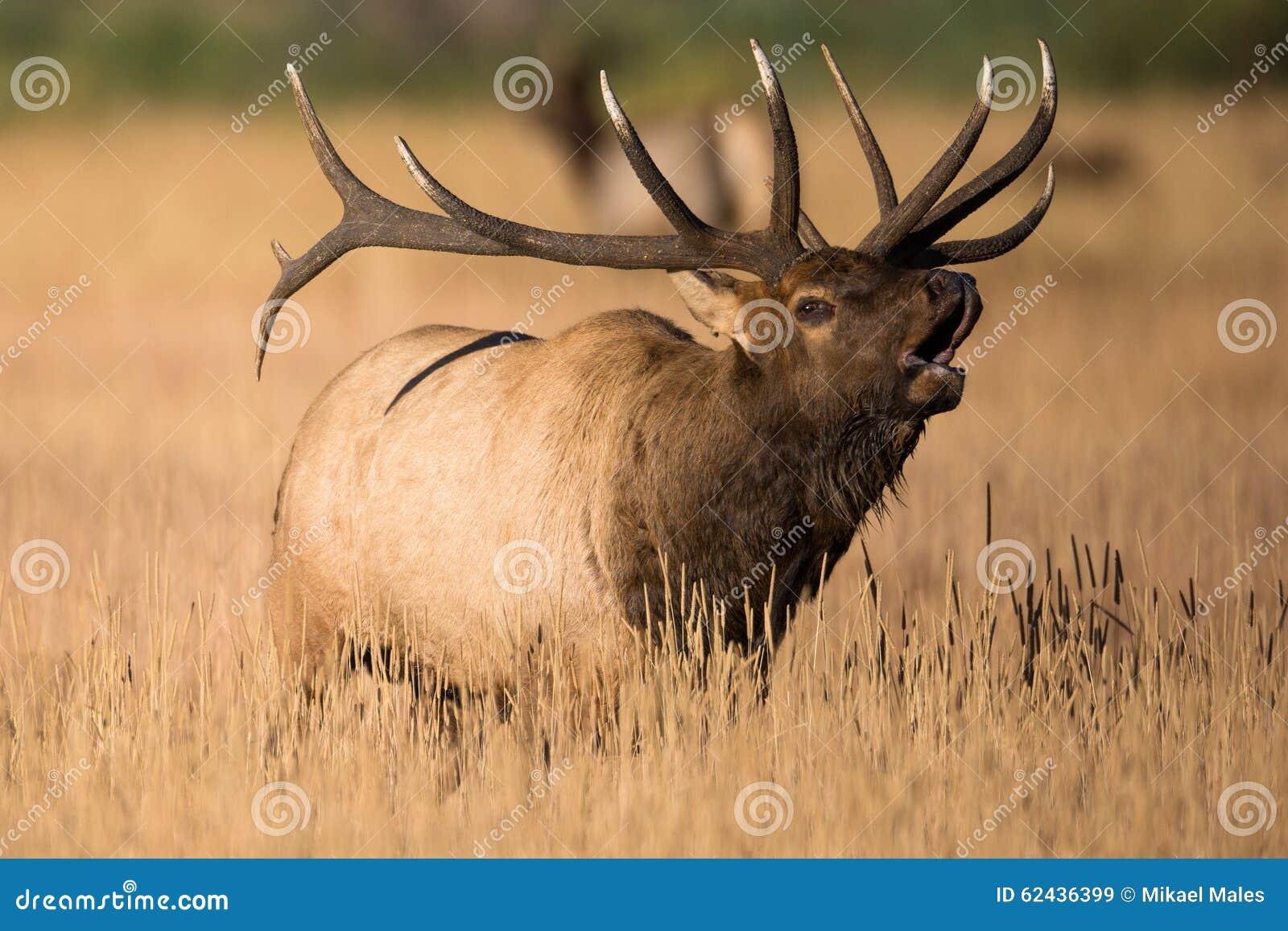 Alci enormi del toro in carreggiata in colorado immagine for Cabine di cresta antler