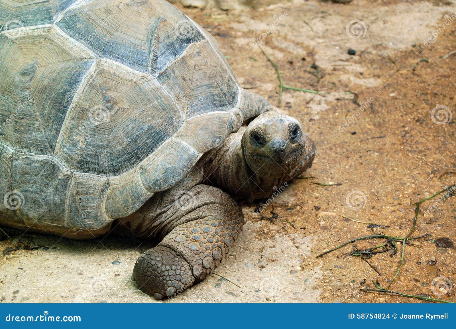 Aldabra Giant Tortoise Of The Seychelles Stock Photo - Image