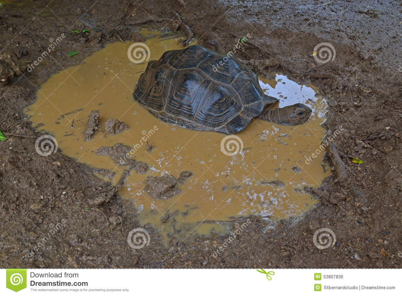 An Aldabra giant tortoise soaking in a puddle of water after a heavy rain