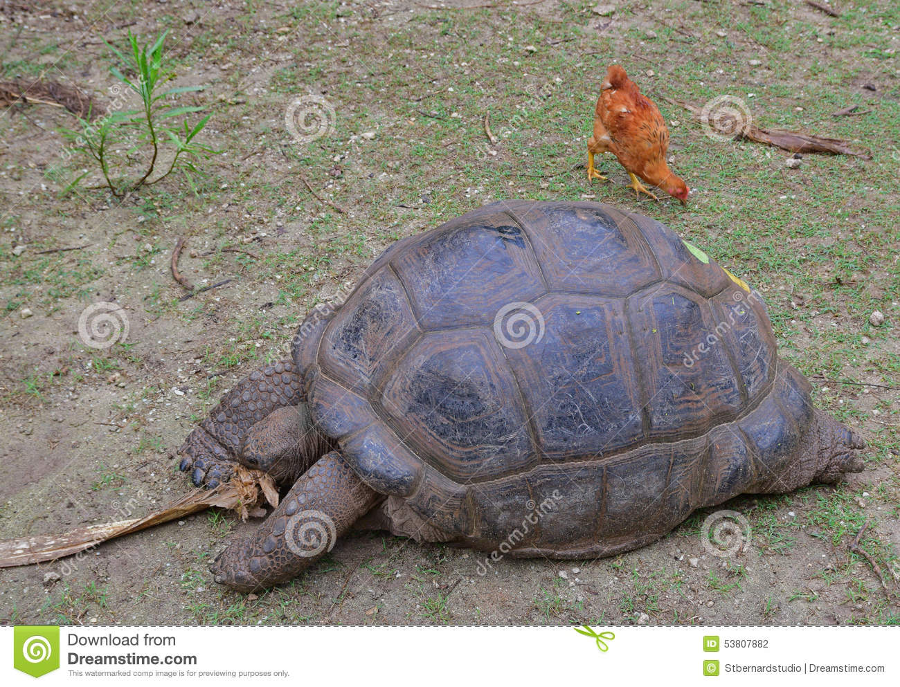 An Aldabra giant tortoise trying to shred a dry tree bark while a chicken is searching for food behind