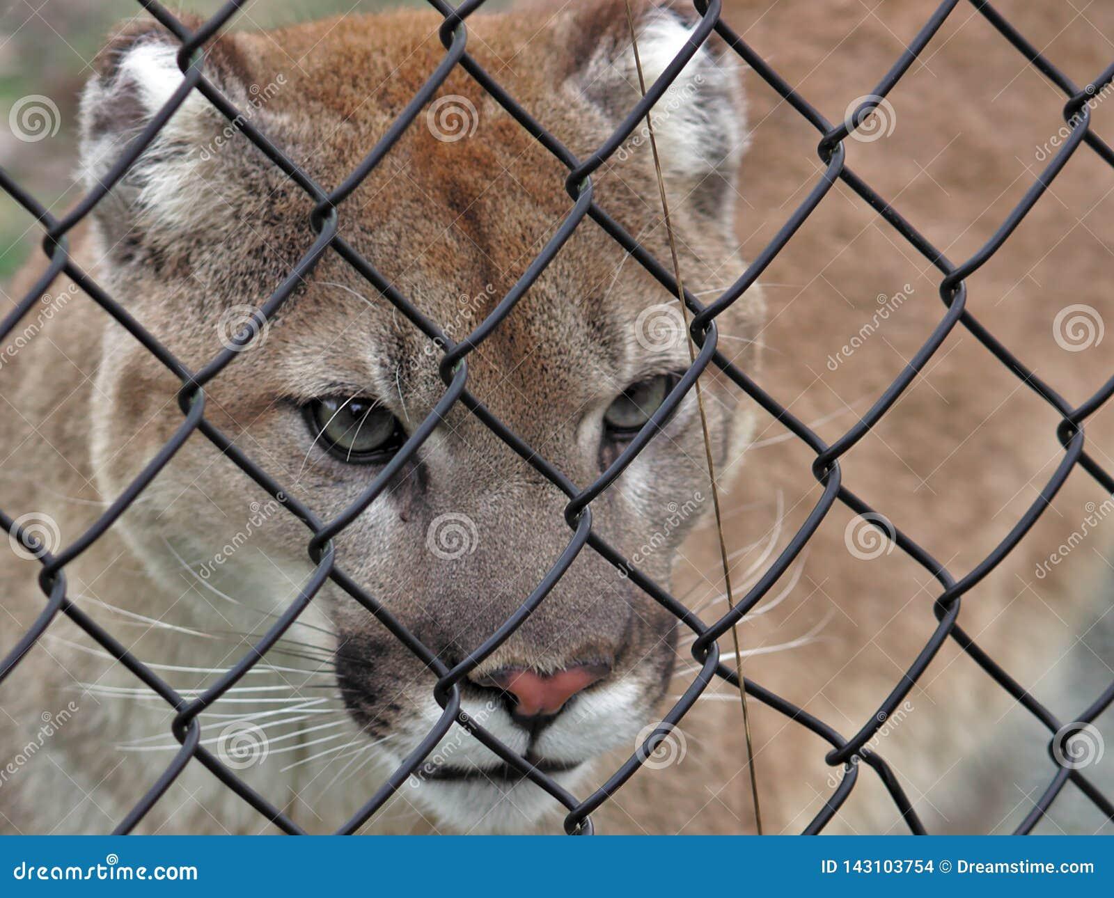 Aldergrove, Βρετανική Κολομβία 25 Μαρτίου 2019 - ένα Couger δίνει ρυθμό στο κλουβί στο μεγαλύτερο ζωολογικό κήπο του Βανκούβερ