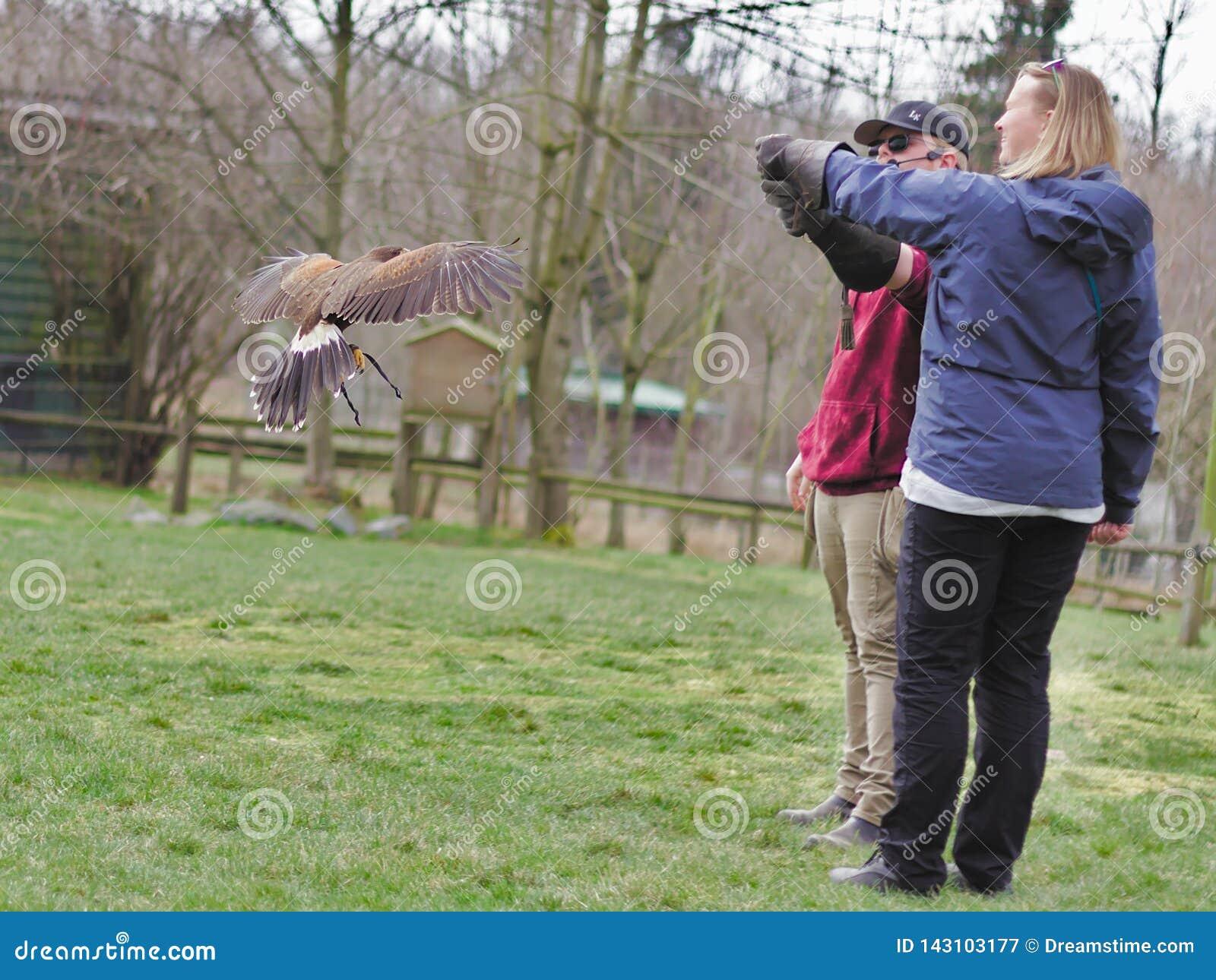Aldergrove, Британская Колумбия 25-ое марта 2019 - сыч стоя на руке тренера в шоу птицы