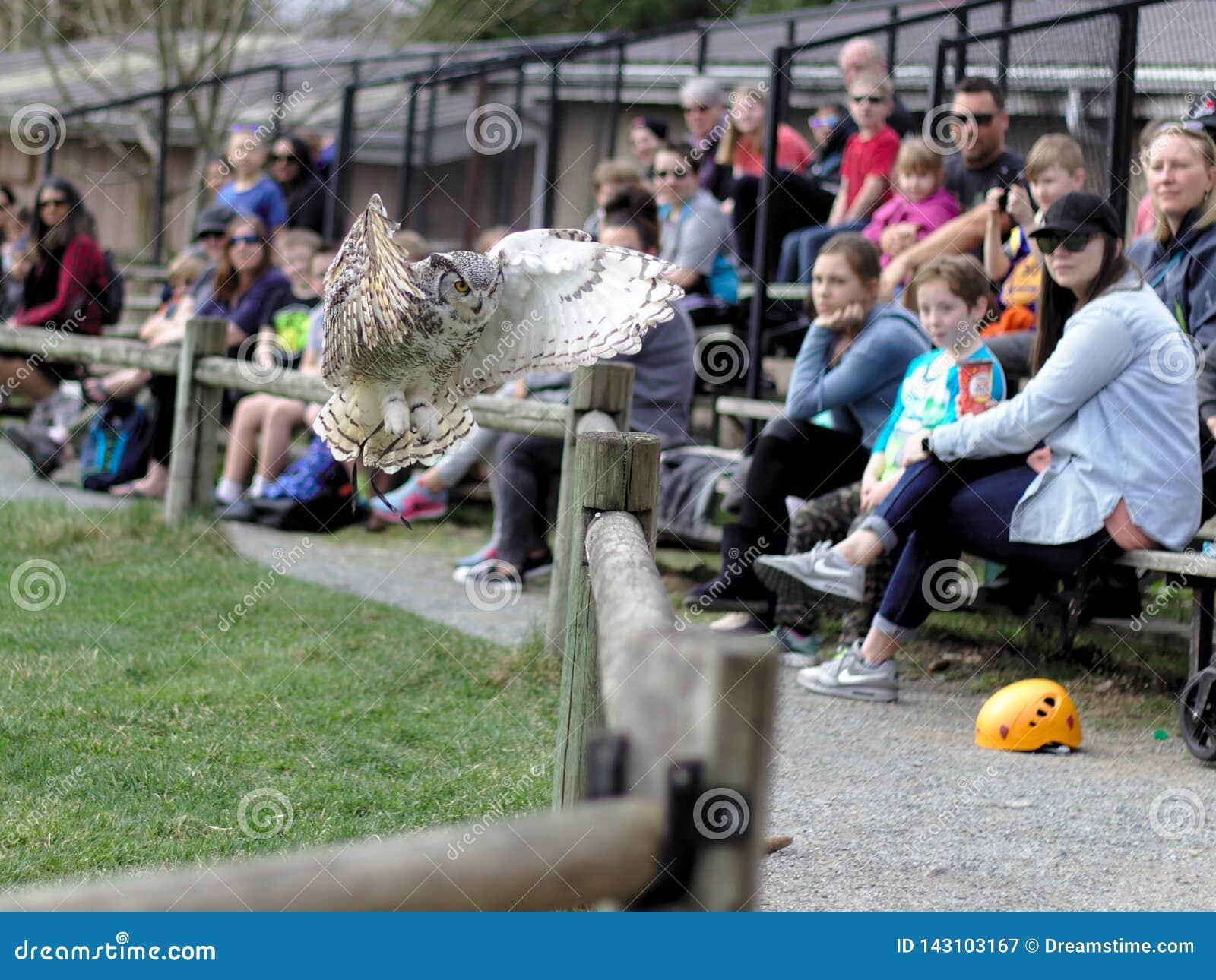 Aldergrove, Columbia Británica 25 de marzo de 2019 - Owl Standing en la mano del instructor en la demostración del pájaro