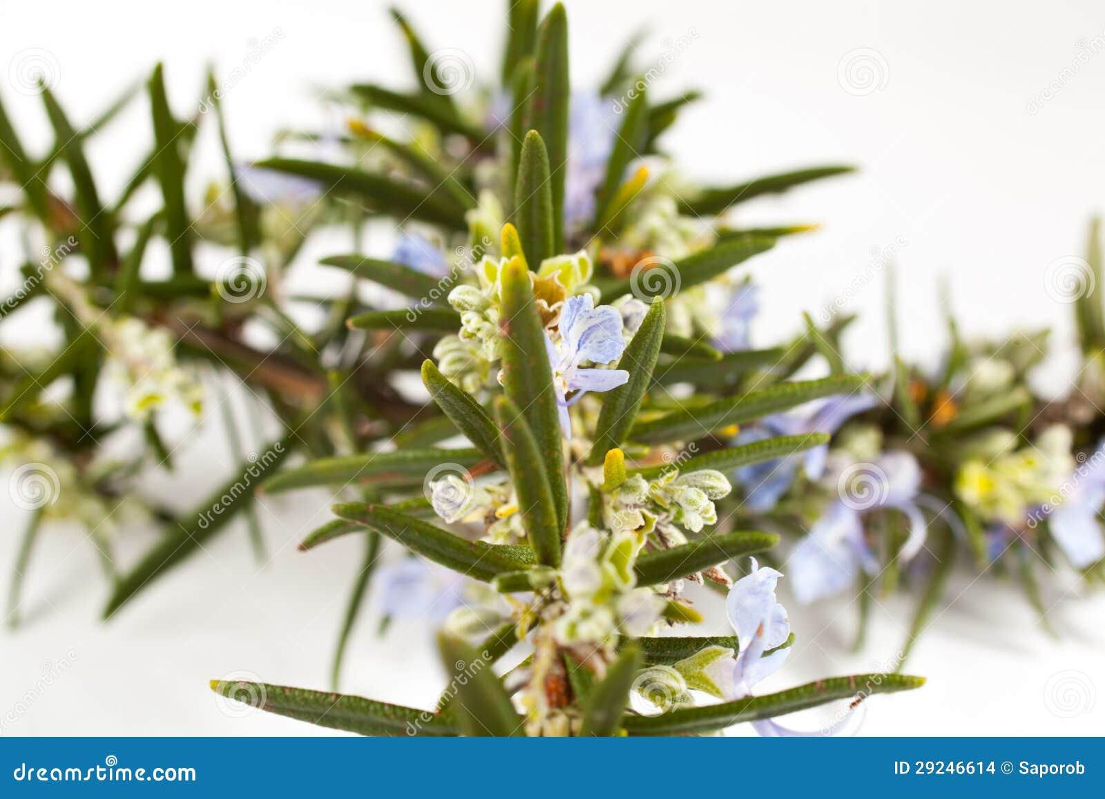 Download Alecrins (officinalis Do Rosmarinus) Foto de Stock - Imagem de fundo, coma: 29246614