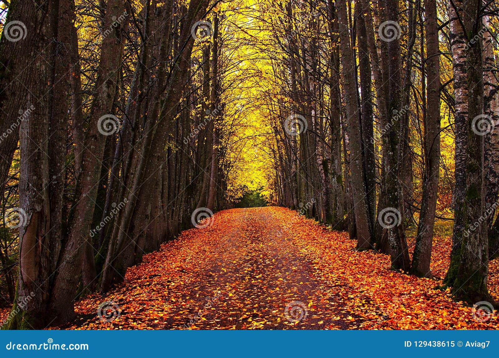 Aleia do parque do outono Árvores brilhantes do outono e folhas de outono alaranjadas