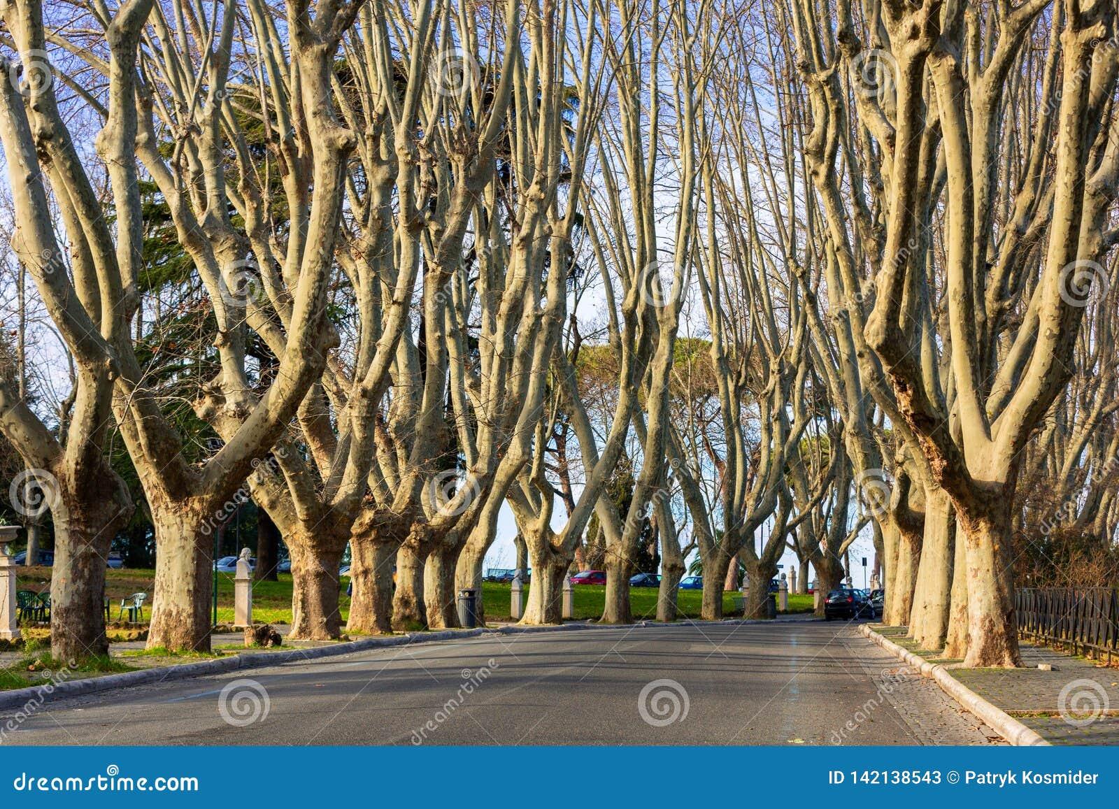 Aleja płascy drzewa przy Janiculum wzgórzem w Rzym, Włochy