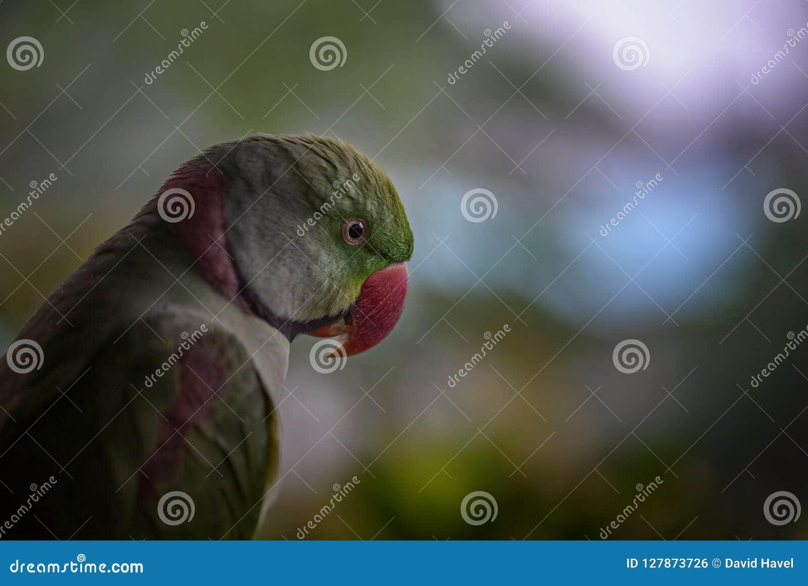 Aleksandrynu Parakeet - Psittacula eupatria