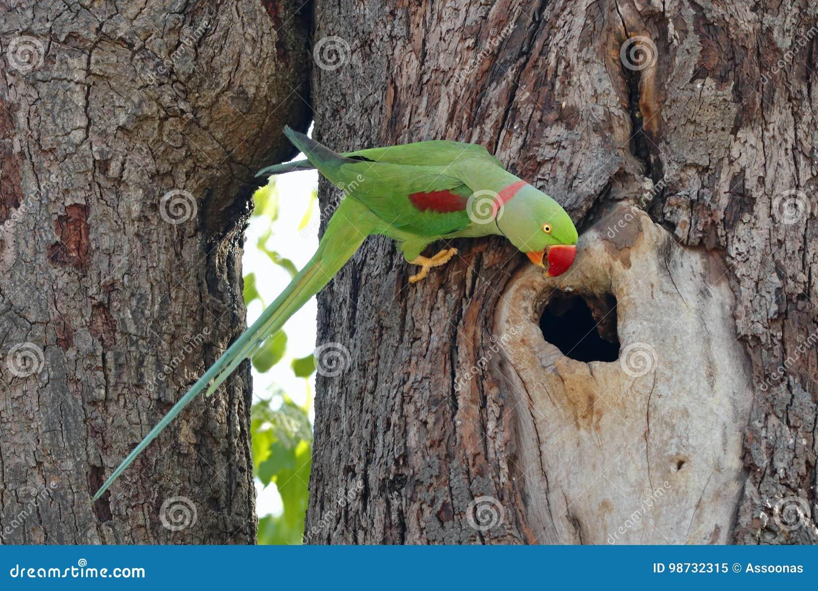 Aleksandrynu Parakeet Psittacula eupatria Męscy Piękni ptaki Tajlandia