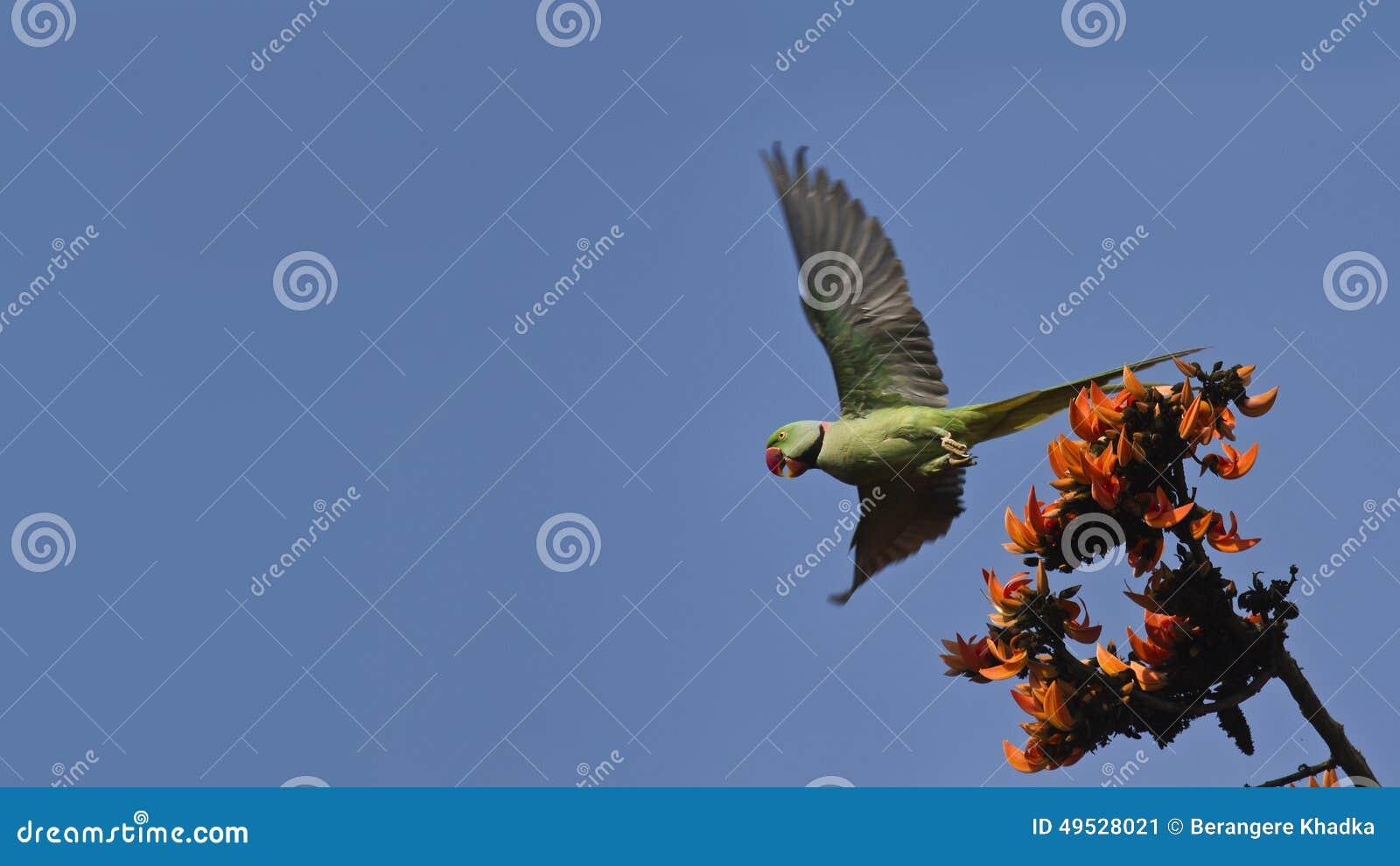 Aleksandrynu parakeet w Bardia, Nepal
