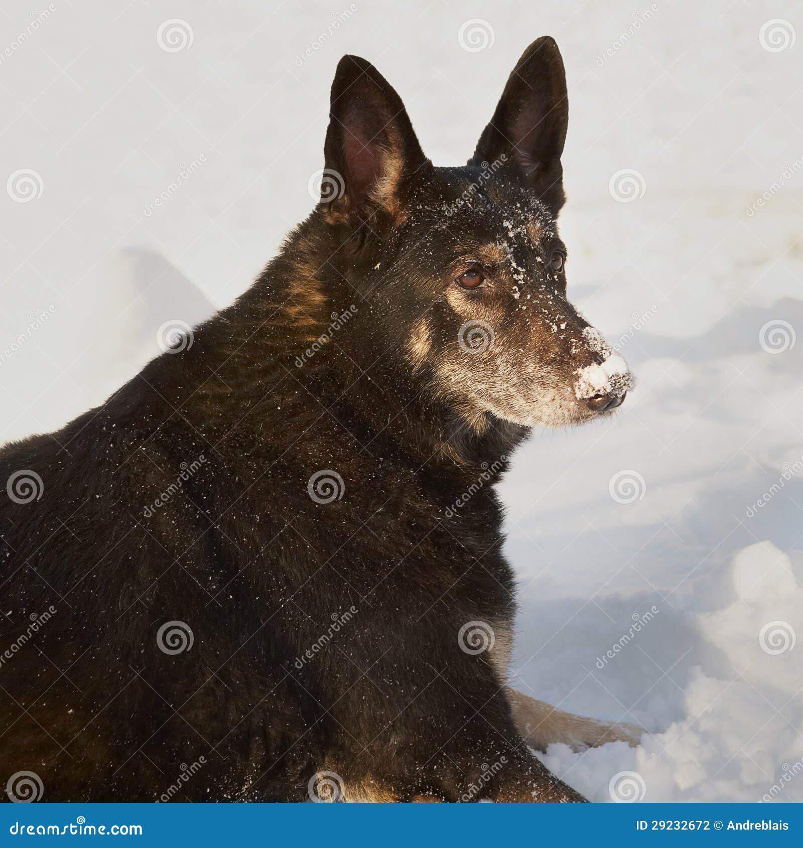 Download Alemão Shepard foto de stock. Imagem de animal, cabeça - 29232672
