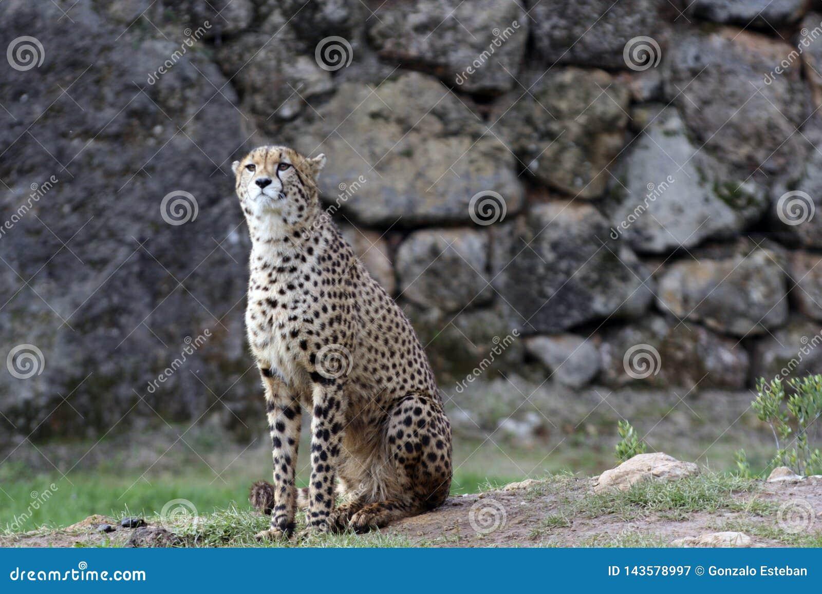 Alert cheetah in the park