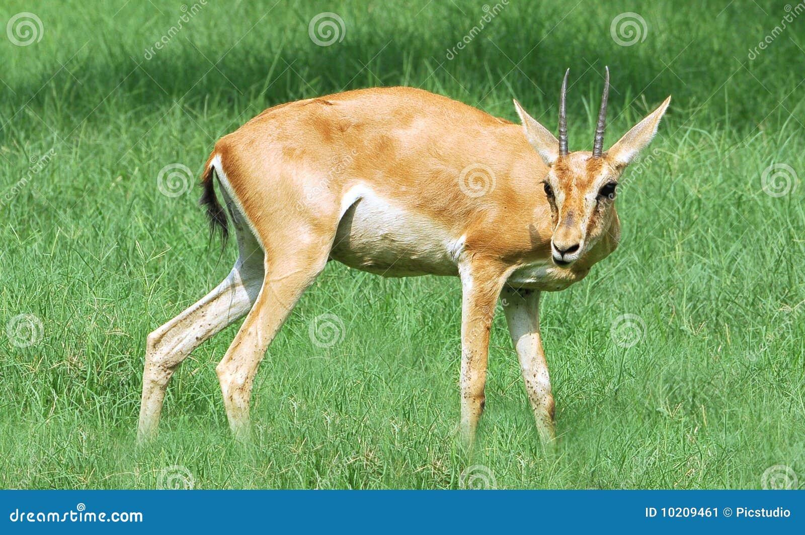 Alert chinkara deer stock image  Image of wildlife, grass
