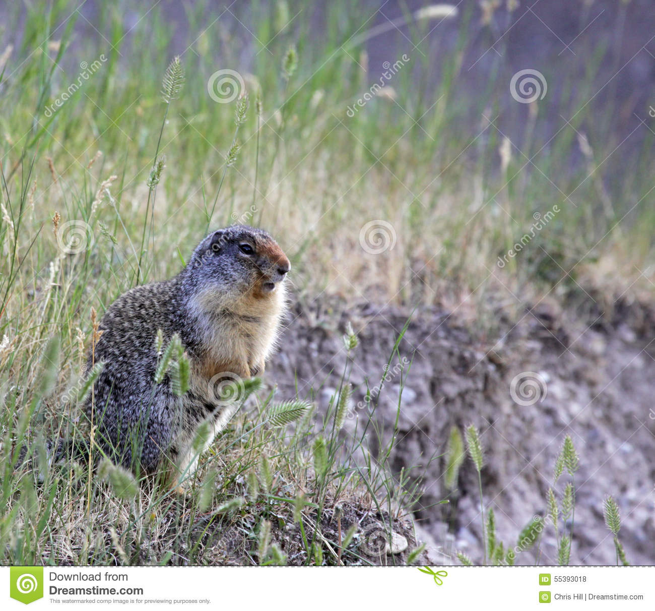 Alert Columbian Ground Squirrel