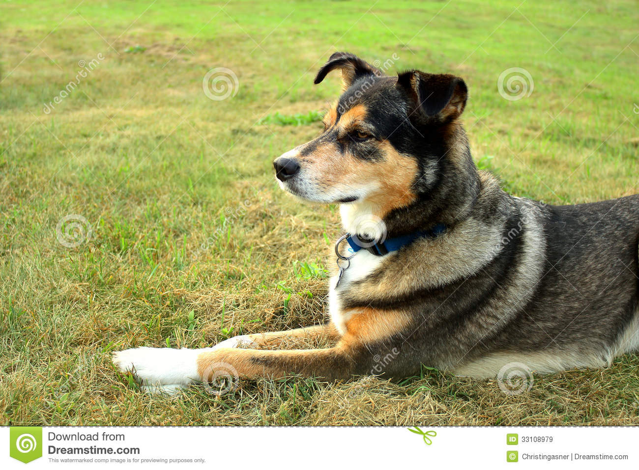 5 Year Male Labrador Cross Collie And German: Alert German Shepherd Mix Dog Royalty Free Stock Images