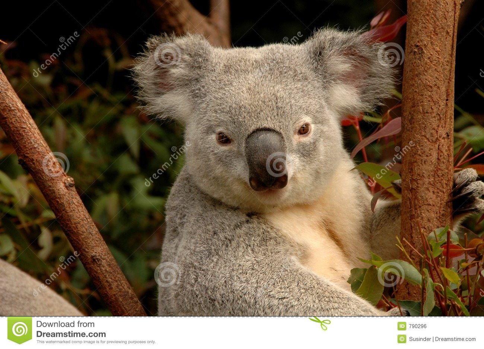 Alert Koala Bear