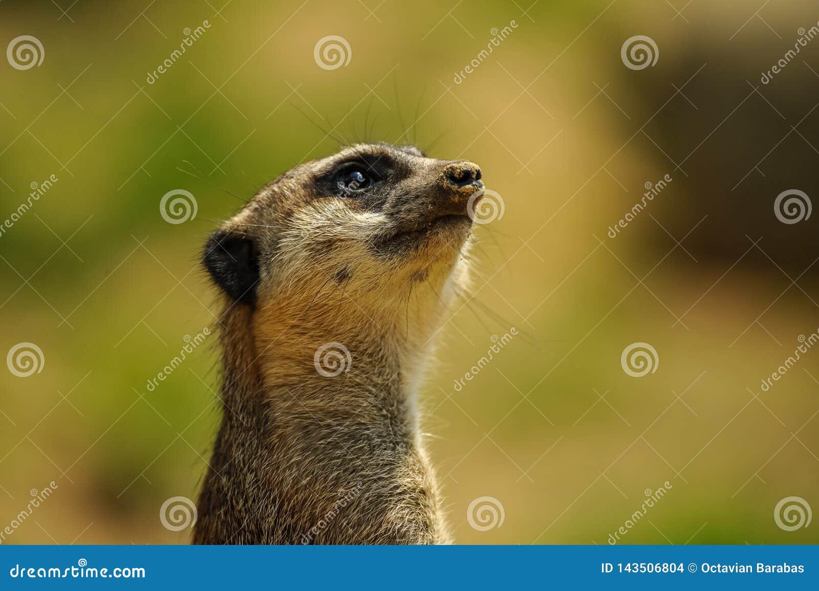 Alert meerkat watching upwards portrait