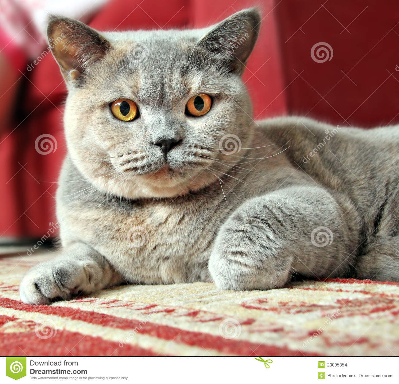 Alert Pedigree Cat Ready To Pounce Stock Photo Image