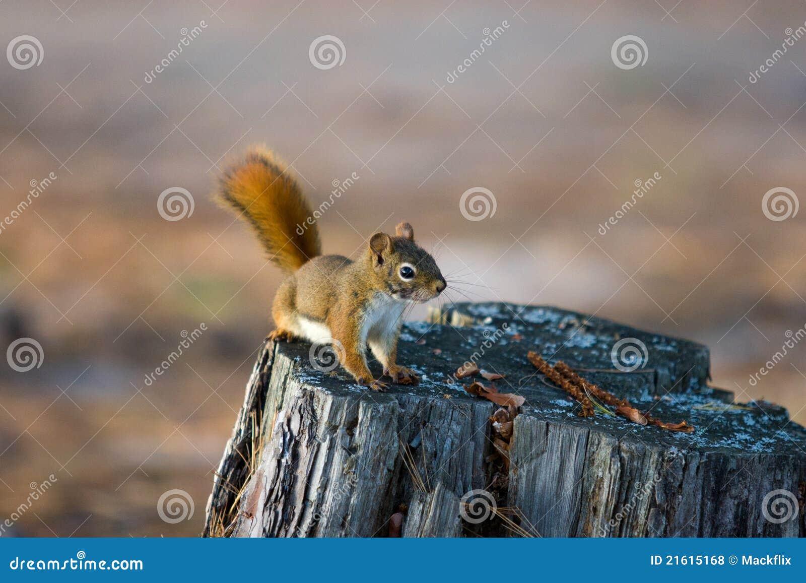 Alert Red Squirrel on Tree Stump