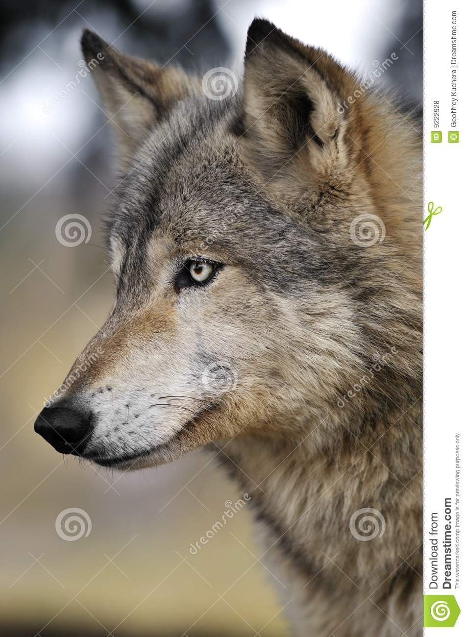 Alert Timber Wolf Portrait Royalty Free Stock Photos