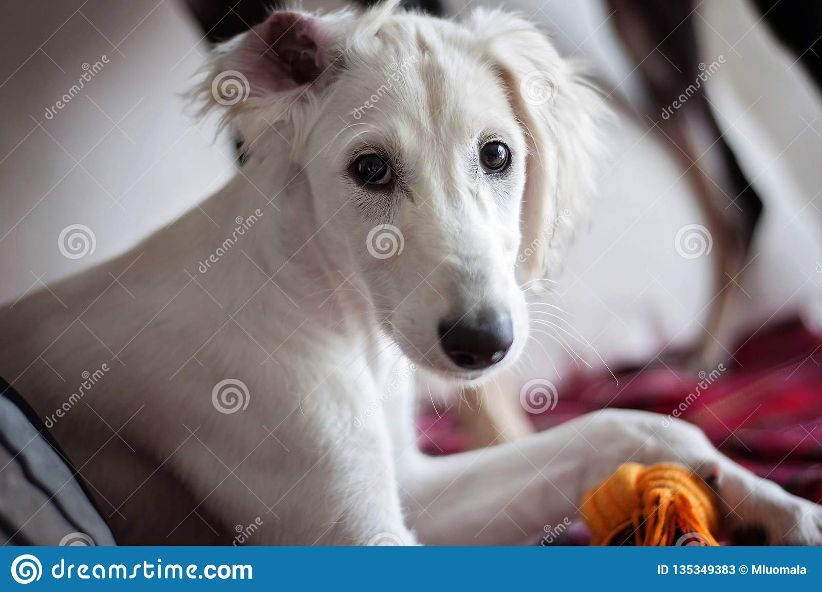 An alert white floppy eared saluki puppy relaxed on a sofa, an ear on a wrong way around