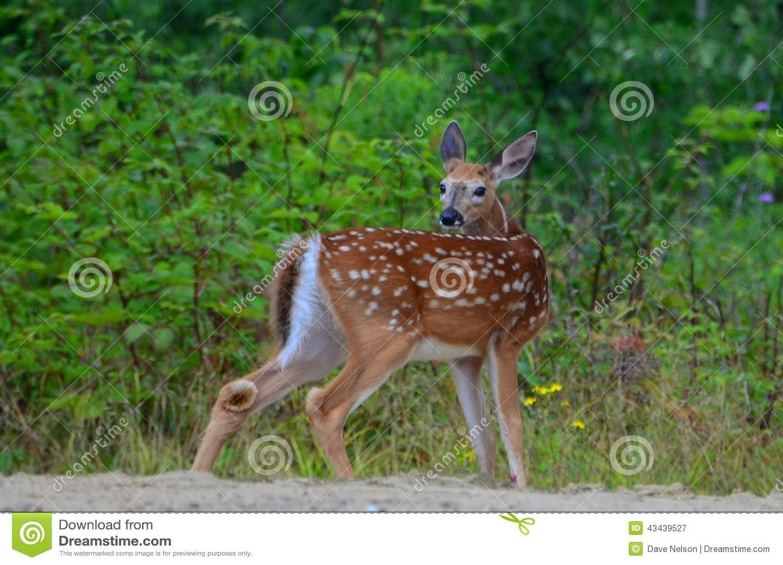Alert white tail deer fawn