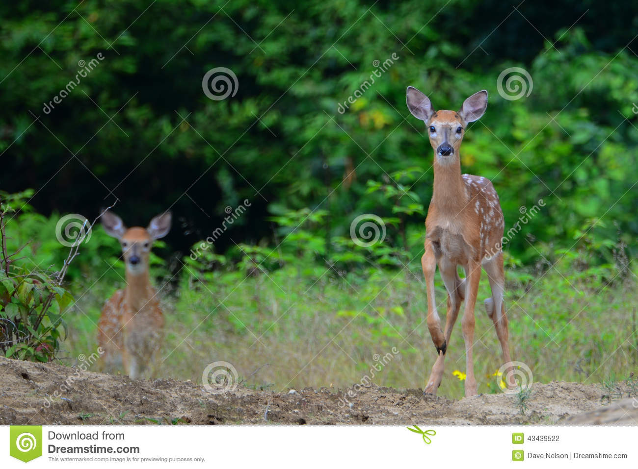 Alert white tail deer fawns